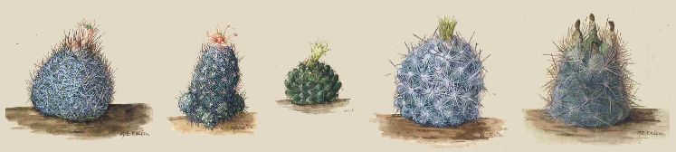 Escobaria dasyacantha, bella, cubensis, chlorantha, neo-mexicana