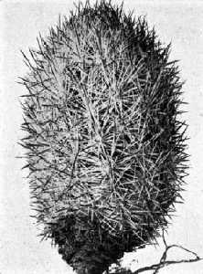 The Cactaceae, 4, fig. 44