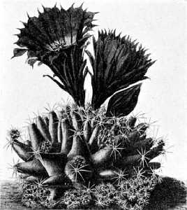 The Cactaceae, 4, fig. 50