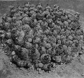 The Cactaceae, 4, fig. 53